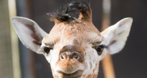 JUST LANDED: A female giraffe calf has been born at Fota Wildlife Park  at Carrigtwohill, Co Cork, to mother Sapphire and father Tadhg.  The new arrival landed – literally, as giraffes give birth standing up - on Tuesday, April 18th, and joins a 12-strong herd of Rothschild giraffes. The park is calling on the public to give the baby giraffe an Irish name and are offering a prize of a year-long conservation membership.  Enter at fotawidlife.ie. Photograph: Darragh Kane