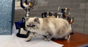 Exotic cat Kernakitz  Missatomicbomb  from Newry at 26th Supreme Cat Show at Ballinteer Community School, Dublin. All photographs: Cyril Byrne / The Irish Times
