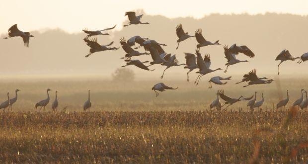 Birds of heaven – An Irishwoman's Diary on cranes
