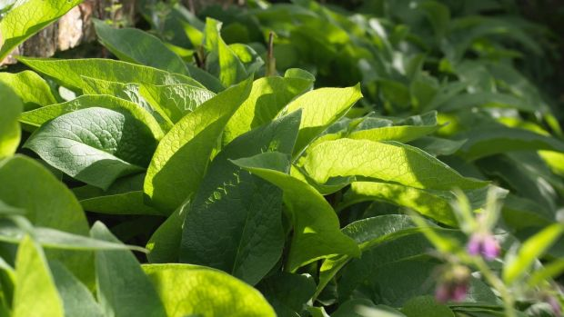 Comfrey: the treacly brown liquid produced can be stored in a bottle and diluted for use when required. Photograph: Richard Johnston