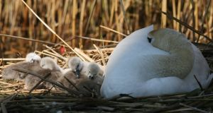 A female swan with her six cygnet  that hatched recently  in Father Collins Park, Clongriffin, Dublin. Photograph: Padraig O'Reilly