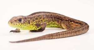 The lizards – which include sand lizards – are considered threatened species in Europe. Photograph: Alfred Schauhuber/McPhoto/ullstein bild via Getty Images