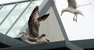 Seagulls on the roof at Loreto School Balbriggan, where students have completed a study on the birds. Photograph: Cyril Byrne