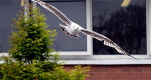 A seagull takes flight at Loreto school in  Balbriggan, where students have completed at study on the birds which land around the school. Photograph: Cyril Byrne