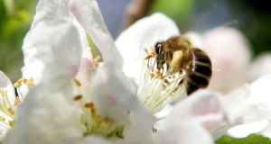 The group of insecticides found on the plants is linked to bee declines, according to a biologist at the University of Sussex. Photograph: Cyril Byrne