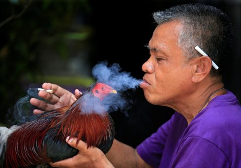 SMOKING HOT: Encouraging a fighting cock in Paranaque city, Manila, Philippines. Photograph: Reuters