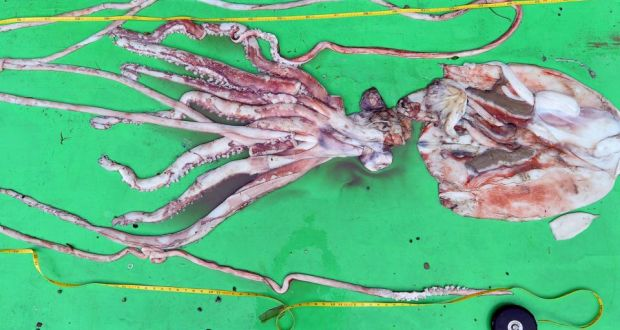 you re a giant squid 100 images why do colossal squids