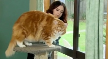 Could Omar be crowned the world's longest cat?
