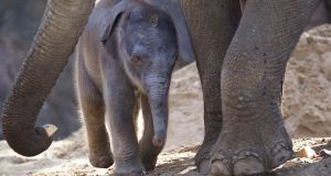 Want to name an elephant? Dublin Zoo has just  welcomed a 130kg calf