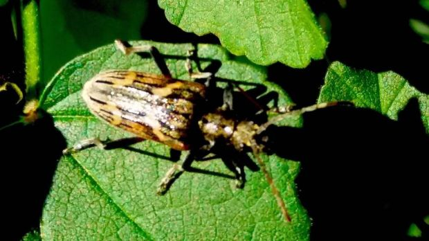 A two-banded longhorn beetle. Photograph: John Walsh