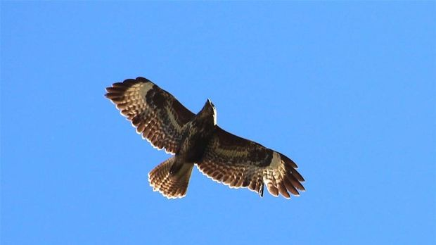 A buzzard flying above Gregory Canning's garden.