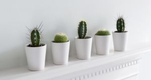 Yes to . . . cacti, the lazy person's houseplant solution