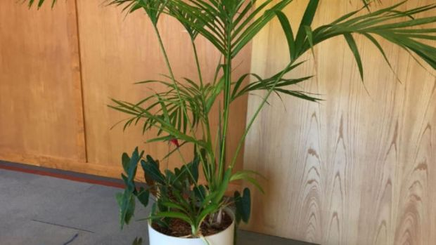 One of the plants from the former Central Bank building to be auctioned.