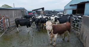 A dairy farm in the Dingle peninsula in Kerry. Photograph: Lionel Derimais