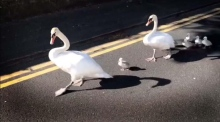 Family of swans crossing the road in Sligo brings traffic to a halt