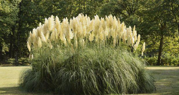 Pampas grass swinging