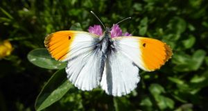 All along the banks of the Royal Canal: an orange tip butterfly. Photograph: Jesmond Harding