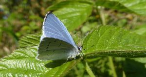 All along the banks of the Royal Canal: a holly blue butterfly. Photograph: Jesmond Harding