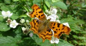 All along the banks of the Royal Canal: a comma Hutchinson butterfly. Photograph: Jesmond Harding