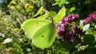 All along the banks of the Royal Canal: a brimstone  butterfly. Photograph: Jesmond Harding