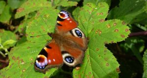 All along the banks of the Royal Canal: a peacock butterfly. Photograph: Jesmond Harding