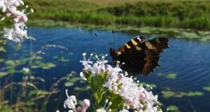 All along the banks of the Royal Canal: a small tortoiseshell butterfly. Photograph: Bart Busschots