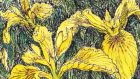 Yellow irises. Illustration: Michael Viney