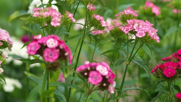 How to grow lovely lupins, cosmos and columbine for summer