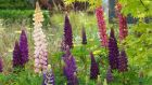 An array of colourful Lupins. Photograph: Richard Johnston