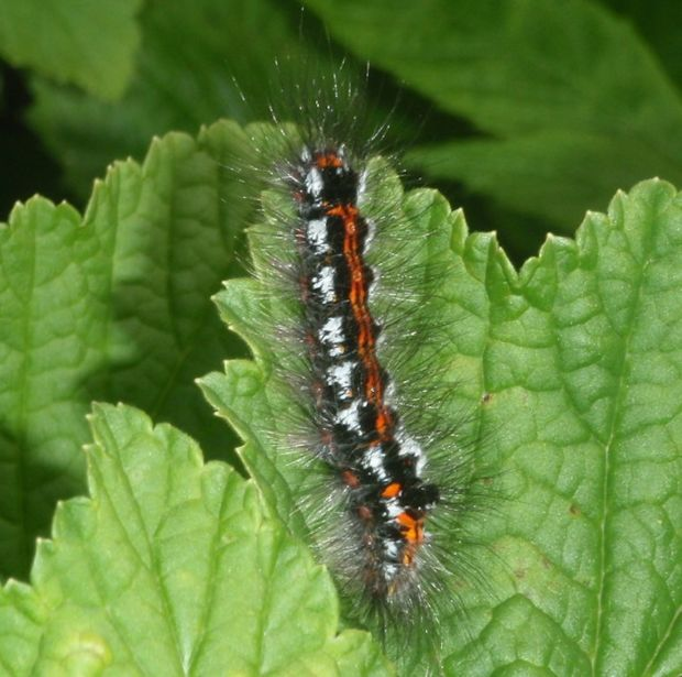 "Anthony Manning sent a photograph of ""a spectacular caterpillar of the yellow-tail moth, which is supposed to be very rare in Ireland"""