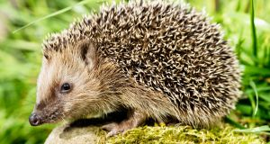 Hedgehogs snuggle down a couple of centimetres into the earth under sheds and hedges and gardeners don't spot them until it is too late. Photograph: Getty Images