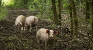 Eoin Bird's pigs at The Wooded Pig