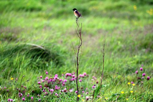 "Catherine Dolan - ""Their Habitat Must be Protected"" - A little stonechat perching high amongst the wildflowers. The image has won 2nd place overall in the Irish Environmental Network photo awards which celebrate National Biodiversity Week."