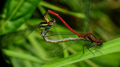 "Pat Somers' image ""Love is in the Air?"" was highly commended. ""A pair of Large Red Damselflies mating. It's amazing how they form a love heart while in the act of mating"""