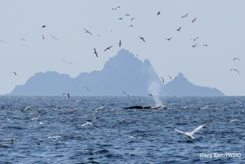"Shortlisted: Gary Kett: ""Cetaceans and seabirds feeding at the Skellig Islands. These photos, captured from RV Celtic Mist (Irish Whale and Dolphin Group) during a research survey, depict a large fish-feeding aggregation of common dolphins, minke, fin and humpback whales and thousands of gannets, to the north of Skellig Mhichael.  These islands are an icon of ecotourism in Ireland and have served an important role in our heritage and wildlife appreciation. """