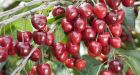 Cherries, like any fruit, need heat and warmth to produce sugars