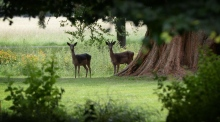 Fawns tagged in Phoenix Park as deer population rises