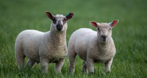Lambs got  sarcocystosis from dogs which ate raw offal containing the parasite and passed it on to the land where the lambs grazed. Photograph: Steve Parsons/PA Wire