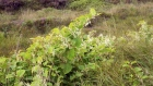 Time-lapse shows rapid growth of Japanese knotweed