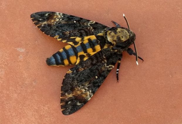 Eyes on nature: the death's head hawkmoth on James Cotter's terrace in Tenerife