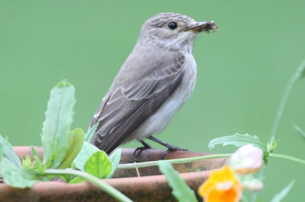 Eyes on nature: one of the spotted flycatchers in Michael Brogan's garden