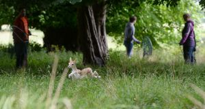 The scene in the Phoenix Park, Dublin as OPW members working in conjunction with students from UCD conduct the annual tagging of Fawns during fawning season.     Photographs: Alan Betson / The Irish Times