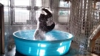 Splash dance: 'dancing' gorilla goes viral