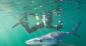 Blue sharks can measure up to 3.8 metres and normally feed on fish and squid. Photograph: Nick Pfeiffer