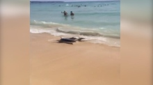 Eyewitness films shark on Majorca beach