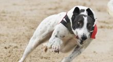 Clares Rocket, who was kidnapped last year, is now the red-hot favourite for Saturday's Star Sports English Greyhound Derby.