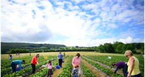 Families picking their own fruit at Lambert's Fruit Farm in the Dublin Mountains above Rathfarnham, Co Dublin. Photograph: Bryan O'Brien