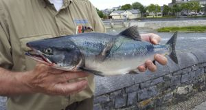 A possible sockeye salmon, indicated by a slight hump, or a coho, caught at the Galway Fishery on June 27th