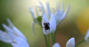 Eyes on nature: the tick that landed on the wild garlic Emer O'Shea was photographing on Lough Erne
