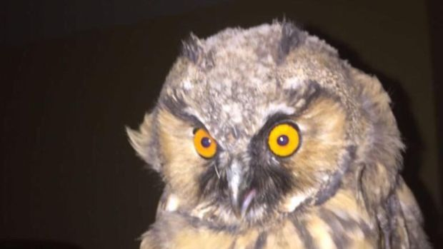 Eyes on nature: the long-eared owl that came into the bedroom of Catherine Rice's brother and sister-in-law
